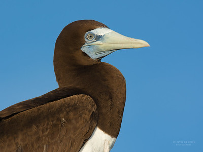 Brown Booby, Lady Elliot Island, QLD, Dec 2015-2