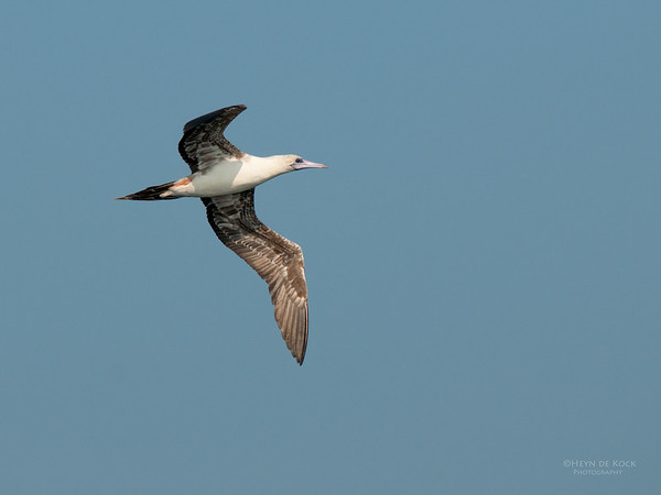 Red-footed Booby, Port Stephens, NSW, Mar 2010