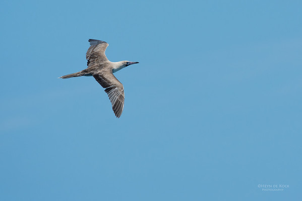 Red-footed Booby, Michaelmas Cay, QLD, Dec 2014