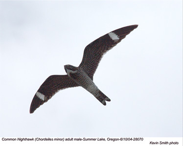 CommonNighthawk28070