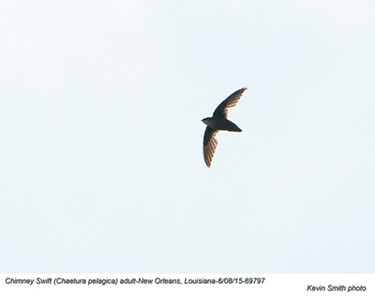 Chimney Swift A69797