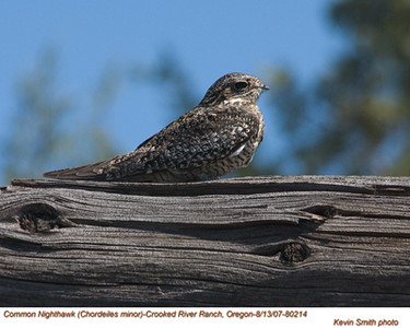 CommonNighthawk80214