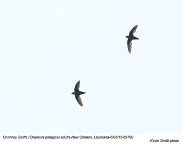 Chimney Swifts A69790
