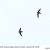 Chimney Swifts A69790