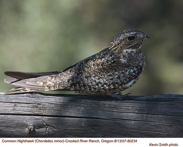 CommonNighthawk80234