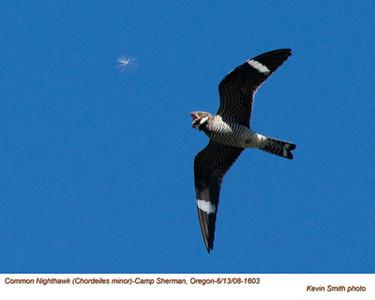 CommonNighthawk1603