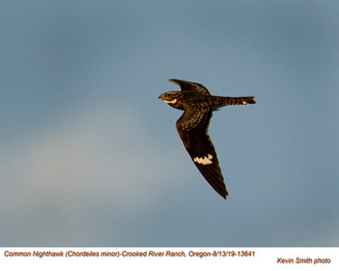 Common Nighthawk A13641