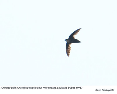 Chimney Swift A69787