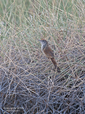 Spinifix bird, Lake Moondarra, Mt Isa, Qld, Aus, Sep 2010