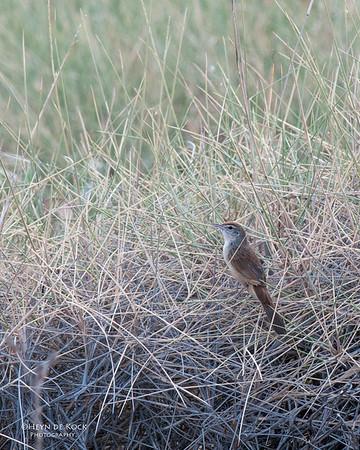Spinifix Bird, Lake Moondarra, Mt Isa, QLD, Sep 2010