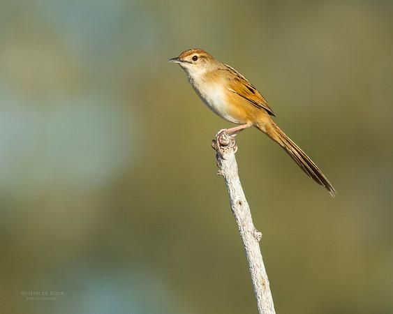 Tawny Grassbird, Lady Elliot Island, QLD, Dec 2015-1 (1)