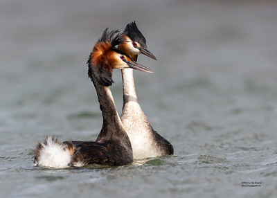 Great Crested Grebe, Glenorchy, SI, NZ, Aug 2018-4