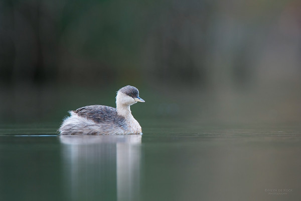 Hoary-headed Grebe, Millpark Lakes, Melbourne, VIC, Apr 2014-2