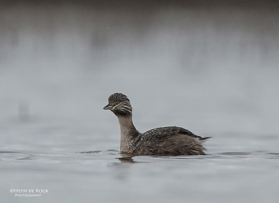 Hoary-headed Grebe, Fivebough Swamp, NSW, Aus, Aug 2012