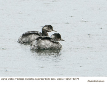 Eared Grebes P52574
