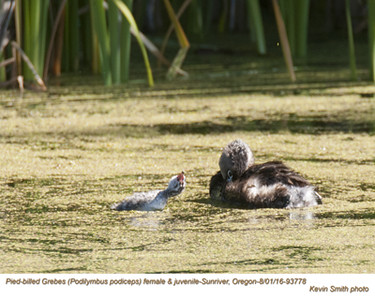 Pied-billed Grebes F&J93778