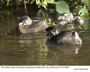 Pied-billed Grebes J25934