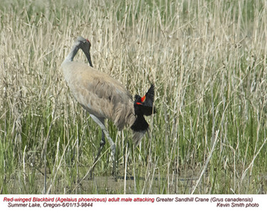 RedWingedBlackbird&SadhillCrane9844