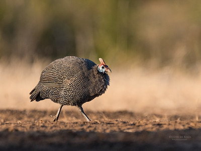 Helmeted Guineafowl, Mashatu GR, Botswana, May 2017-8