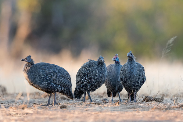 Helmeted Guineafowl, Mashatu GR, Botswana, May 2017-7