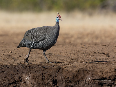 Helmeted Guineafowl, Mashatu GR, Botswana, May 2017-2