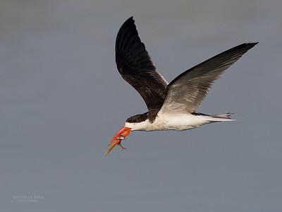 African Skimmer, Chobe River, NAM, Oct 2016-19