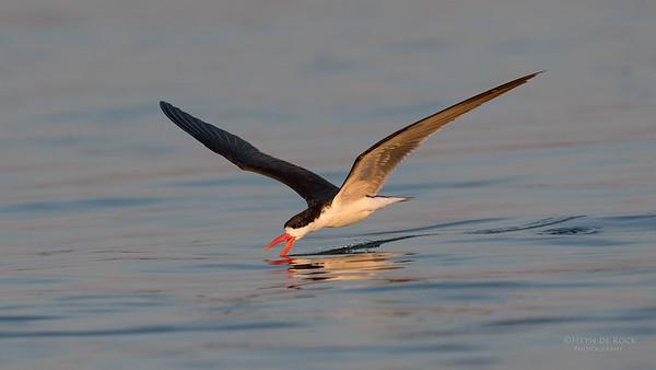 African Skimmer, Chobe River, NAM, Oct 2016-1