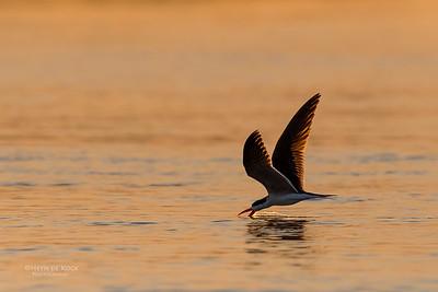 African Skimmer, Chobe River, NAM, Oct 2016-4