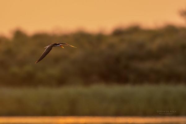 African Skimmer, Chobe River, NAM, Oct 2016-16