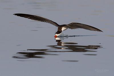 African Skimmer, Chobe River, NAM, Oct 2016-2