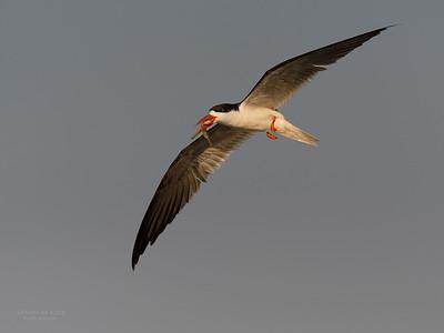 African Skimmer, Chobe River, NAM, Oct 2016-8