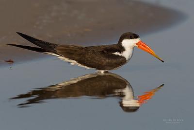 African Skimmer, Chobe River, NAM, Oct 2016-12