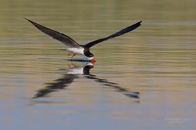 African Skimmer, Chobe River, NAM, Oct 2016-10