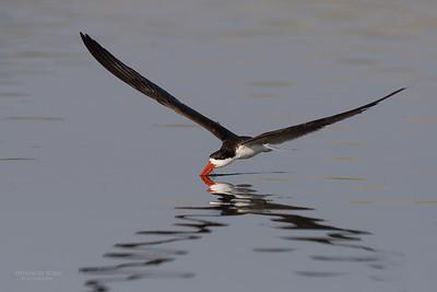 African Skimmer, Chobe River, NAM, Oct 2016-21