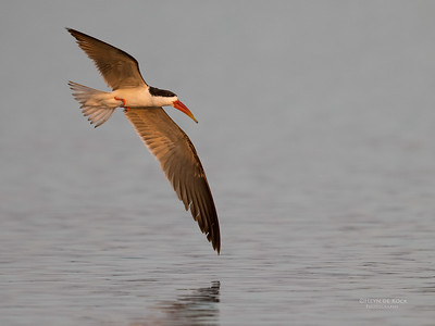 African Skimmer, Chobe River, NAM, Oct 2016-29
