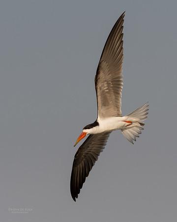 African Skimmer, Chobe River, NAM, Oct 2016-26