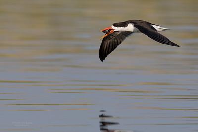 African Skimmer, Chobe River, NAM, Oct 2016-30