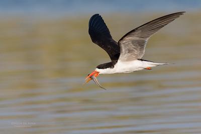 African Skimmer, Chobe River, NAM, Oct 2016-28