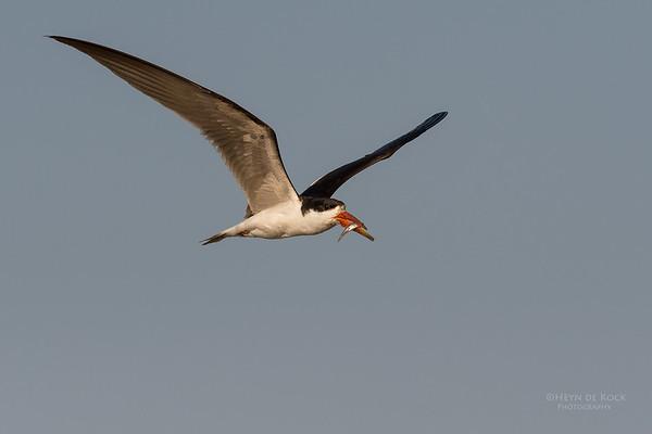 African Skimmer, Chobe River, NAM, Oct 2016-27