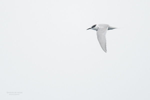 Antarctic Tern, Eaglehawk Neck Pelagic, TAS, Sept 2016-4