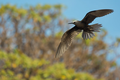 Black Noddy, Lady Elliot Island, QLD, Dec 2015-9