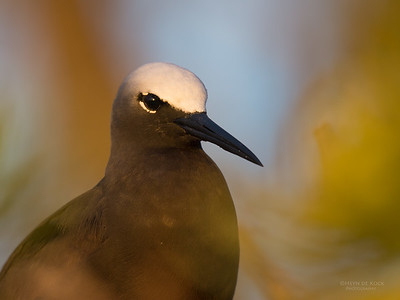 Black Noddy, Lady Elliot Island, QLD, Dec 2015-4