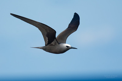 Black Noddy, Lady Elliot Island, QLD, Dec 2015-17