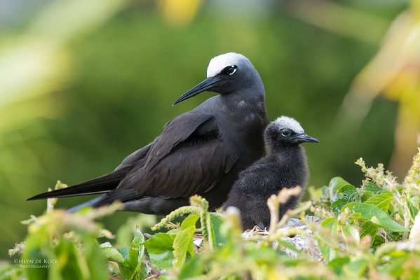 Black Noddy, Lady Elliot Island, QLD, Dec 2015-24