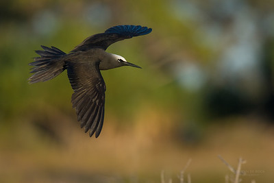 Black Noddy, Lady Elliot Island, QLD, Dec 2015-13