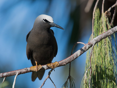 Black Noddy, Lady Elliot Island, QLD, Dec 2015-25