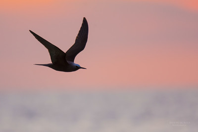 Black Noddy, Lady Elliot Island, QLD, Dec 2015-12