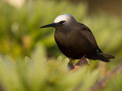 Black Noddy, Lady Elliot Island, QLD, Dec 2015-7