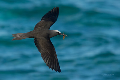 Black Noddy, Lady Elliot Island, QLD, Dec 2015-16