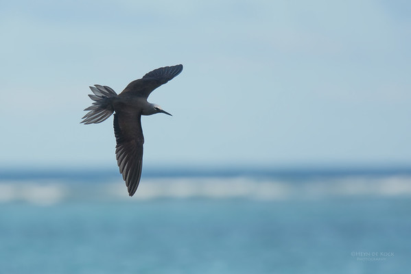 Black Noddy, Lady Elliot Island, QLD, Dec 2015-26